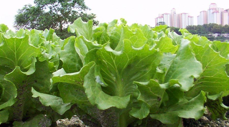 lettuce 3003-01